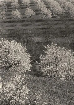 Kirschplantage (Cherry Plantation), 1930 By Aenne Biermann