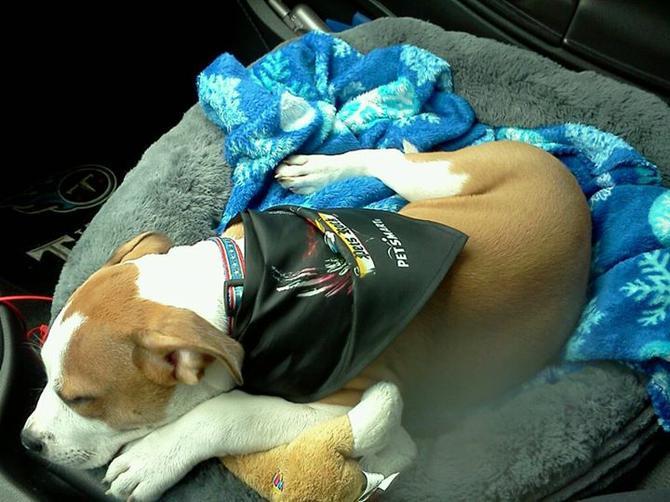 7 Retriever Golden Puppy Sophie Month Old