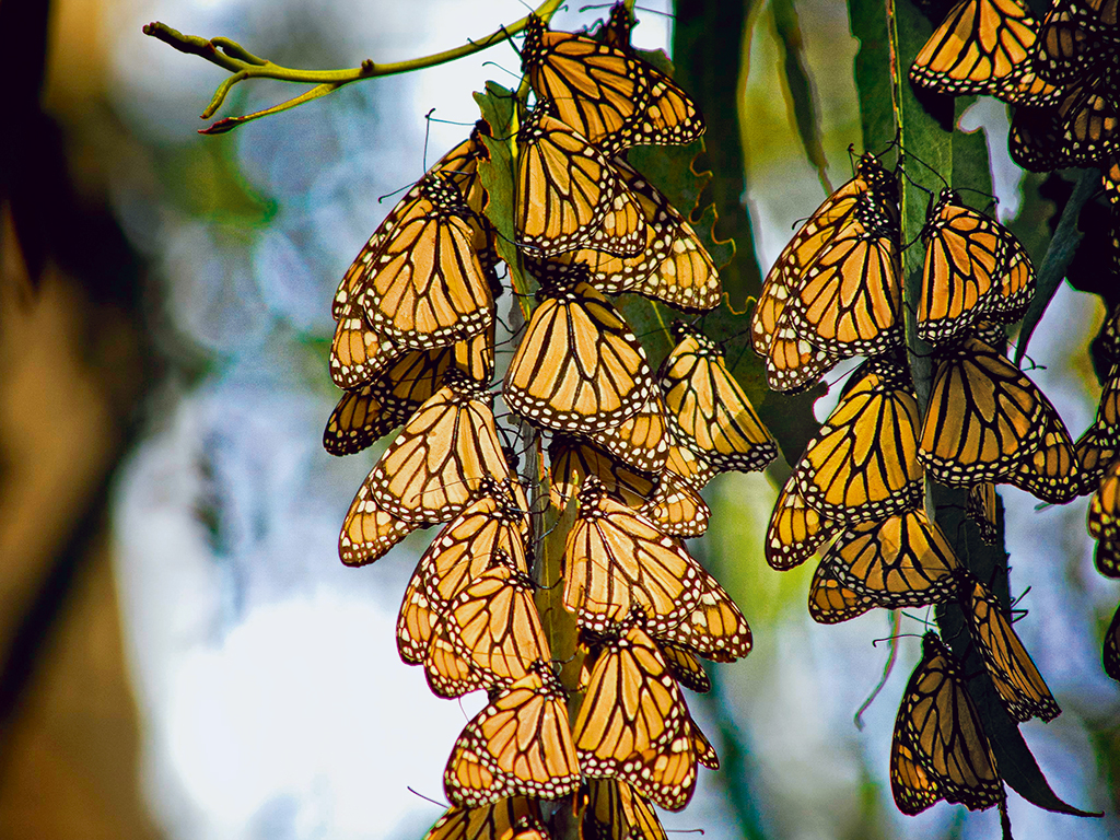 The Magnificent Migration Of The Monarch Butterflies