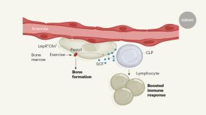 Exercise generates immune cells in the bones