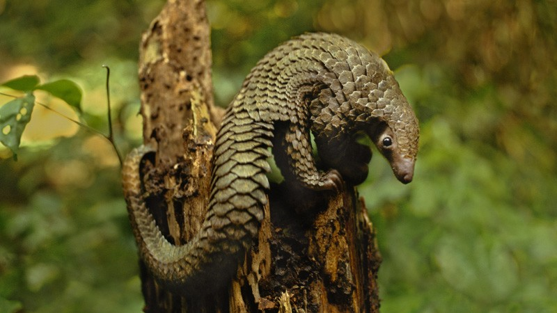 Did pangolins spread the China coronavirus to people?