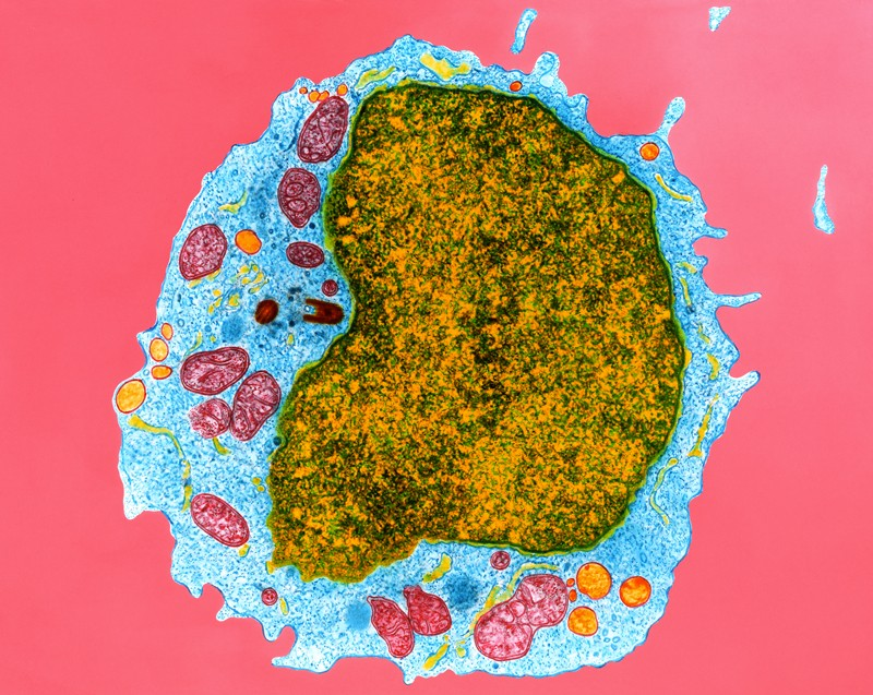 Coloured transmission electron micrograph of a section through a human B- lymphocyte