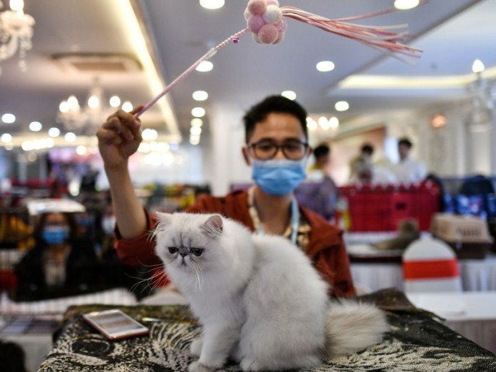 Man wearing face mask waves toy on Persian cat at cat show in Vietnam