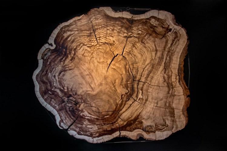 Cross cut of 375 year old Montezuma bald cypress