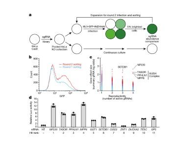 How cells hush a viral invader