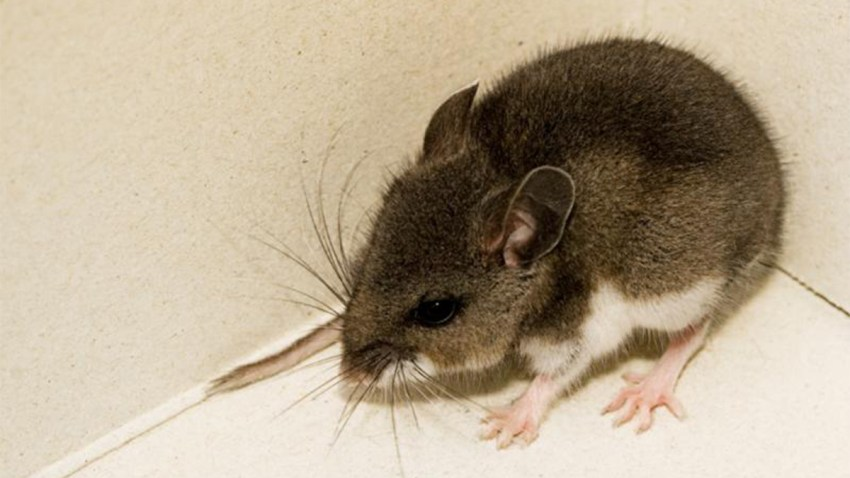 Mouse Carrying Potentially Deadly Virus Discovered in San Diego ...