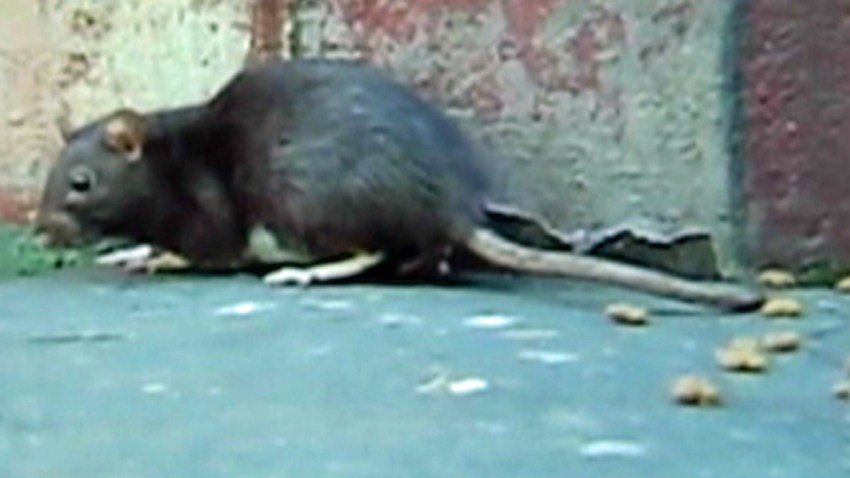 San Francisco Woman Breeds Rats Releases Them in City ...