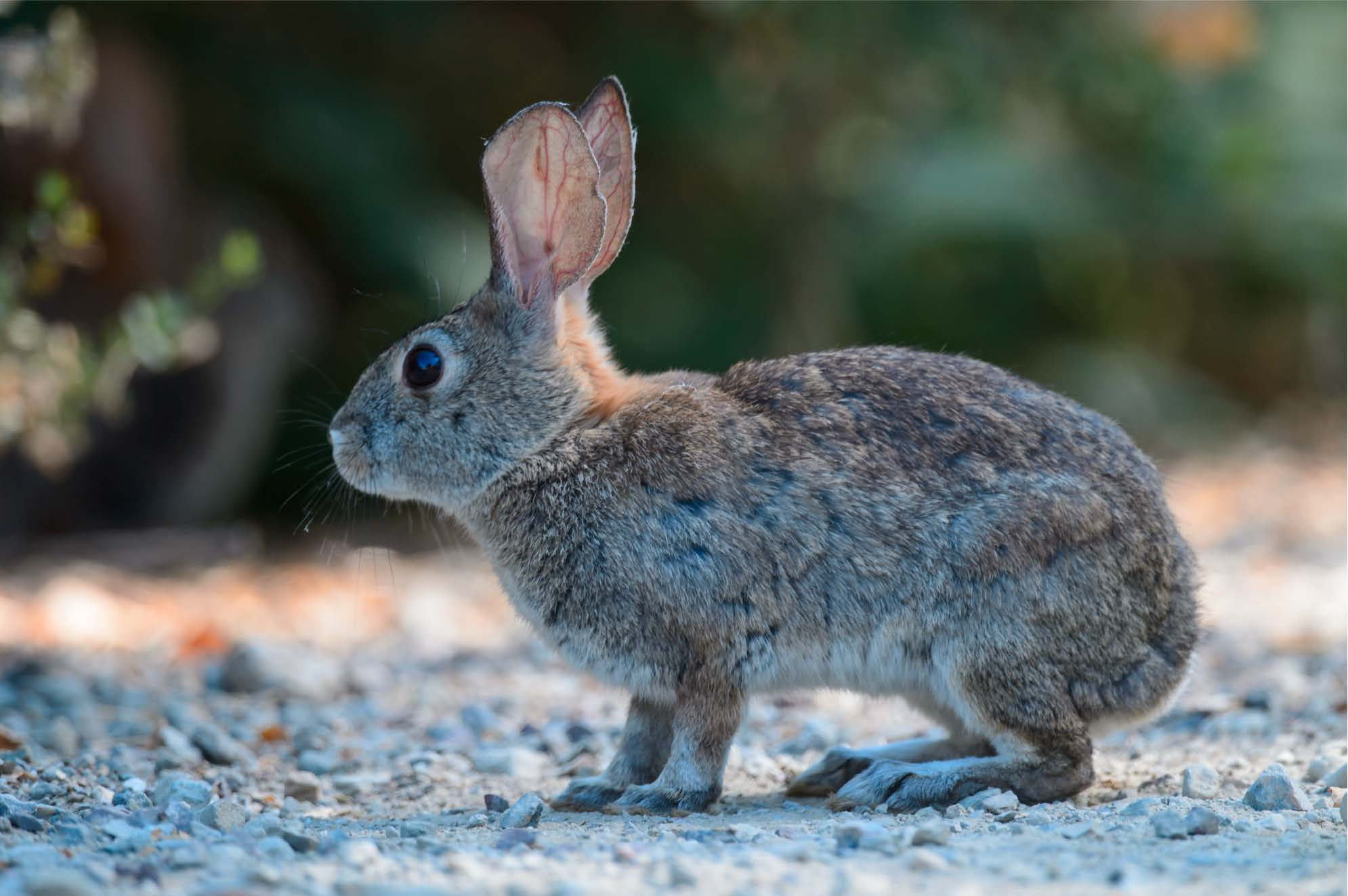 Deadly Rabbit Virus Spreads To Los Angeles County Nbc Los Angeles