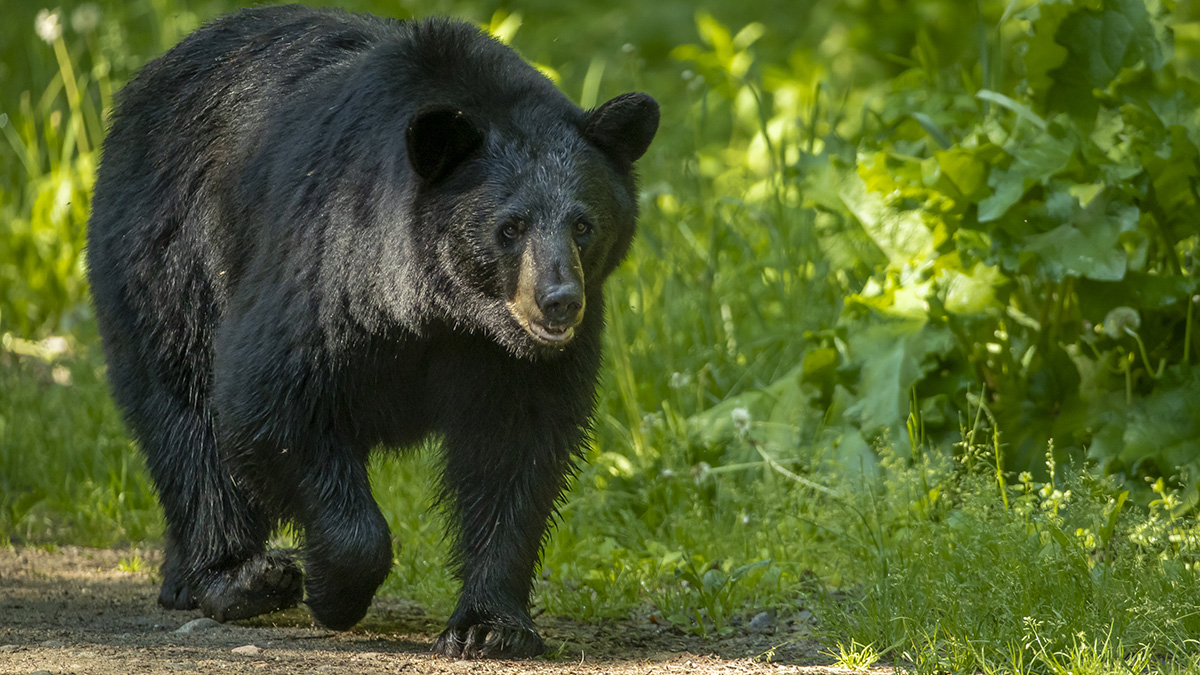 Hunters Kill 328 Bears in NJ, More Than in All of Last Year