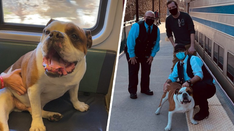 Owner's Side and Dog's Side Of Training English Bulldogs