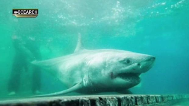 [NY] Great White Shark Tracked in Long Island Sound