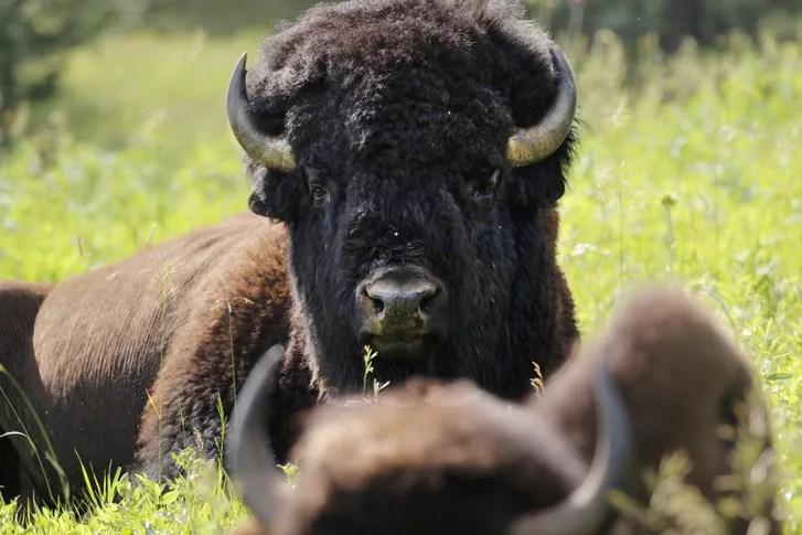 bison bison bison america