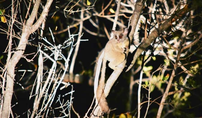 A bushbaby in South Africa.