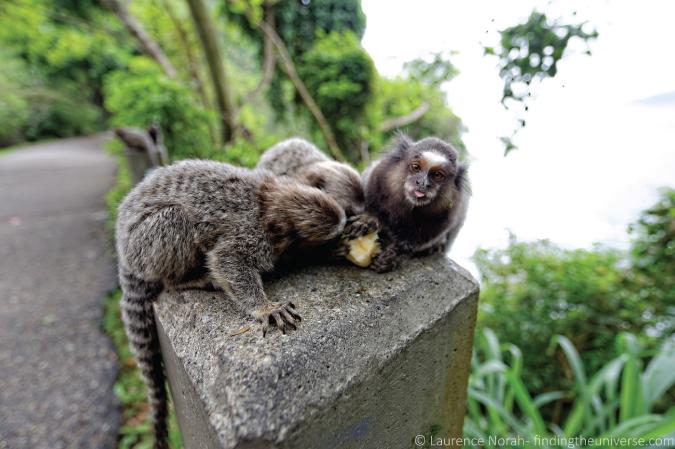 Photo of cheeky Monkey in Rio de Janeiro, Brazil