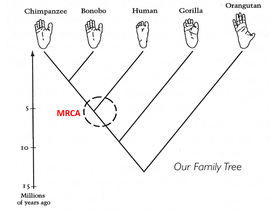 Our Family Tree: Chimps, Bonobos And Our Commonality : 13
