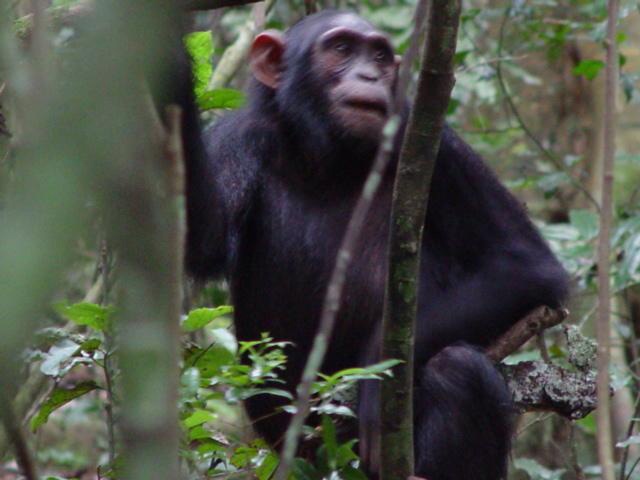 A 9-year-old female chimp carries a stick, seen just below her left arm.