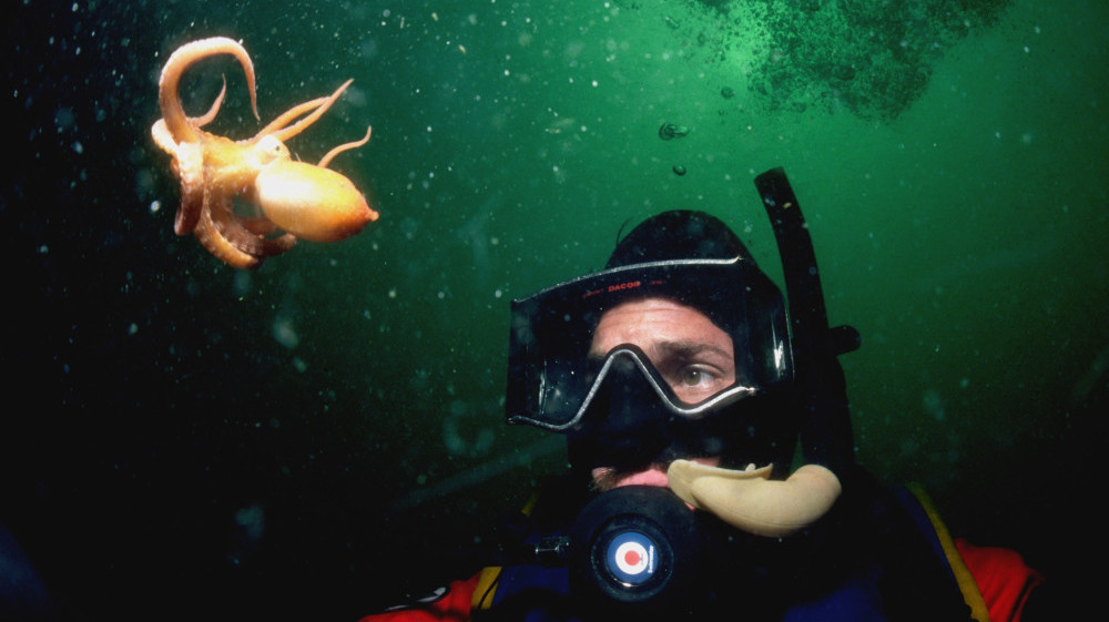 A scuba diver views a baby giant Pacific octopus near Powell River, British Columbia.