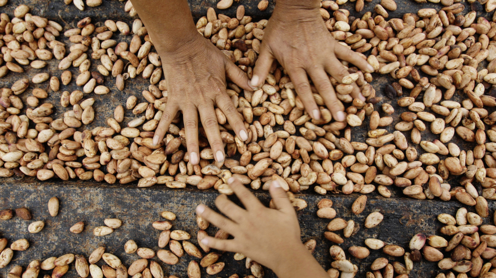 Farmers dry cacao beans in Uchiza, Peru, a file photo from 2008. Researchers are exploring the wild cacao bounty of Peru's Amazon Basin, part of an effort to jump-start the country's premium cacao industry.