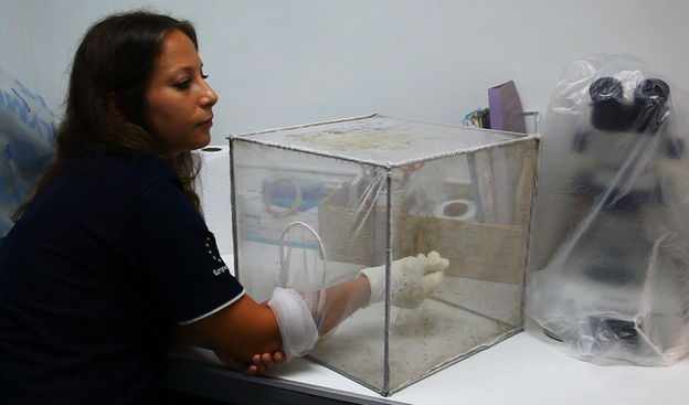 Chiara Andolina, a malaria researcher in Thailand, feeds her mosquito colony by letting the insects bite her right arm. These mosquitoes are picky and will dine only on live human blood.