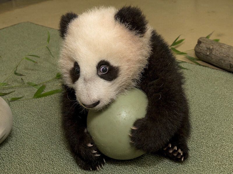 agreed baby pandas are
