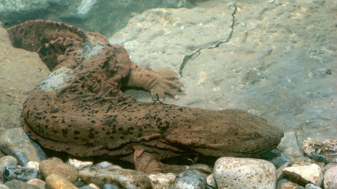 hellbenders, north american salamander, giant salamanders,