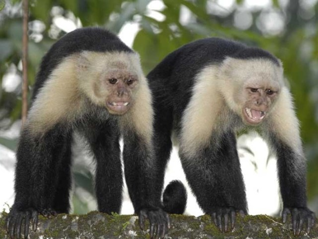 Colombian white-faced capuchin