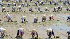 It takes a village to grow rice paddies: Taiwanese farmers break a Guinness World Record for the largest number of people planting rice at once in August 2012.