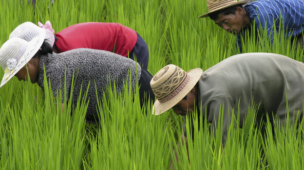 Teamwork needed: Successfully growing rice requires villages to work together to build irrigation systems and get the crop planted. By comparison, wheat is easier to grow.