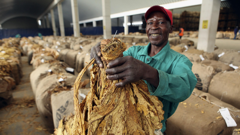 Tobacco Is Smokin Again In Zimbabwe  Goats and Soda  NPR