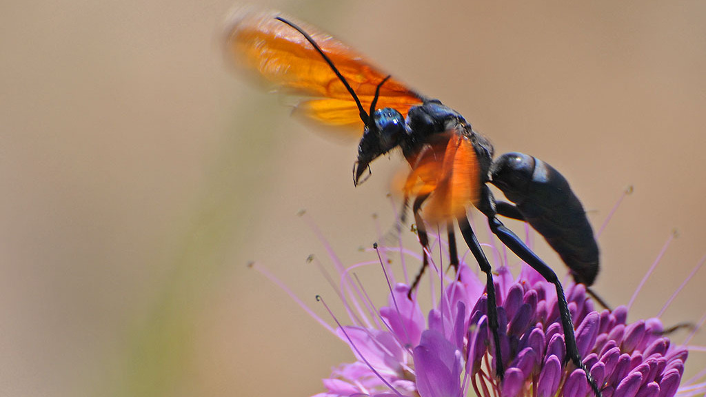 For This Tarantula Killing Wasp Dinners A Meal Best