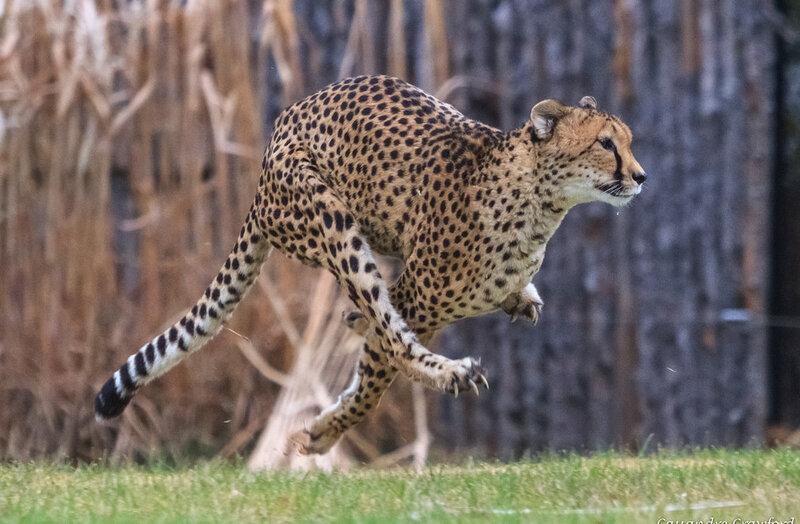 sarah the cheetah world