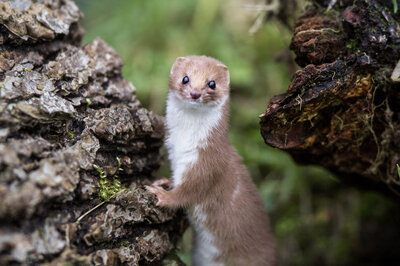 A small mammal, possibly a weasel, gnawed-through a power cable at the Large Hadron Collider.