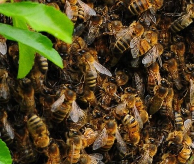 Late Spring Is Swarm Season The Time Of Year When Bees Reproduce And Find New Places To Build Hives John Clift Flickr Hide Caption