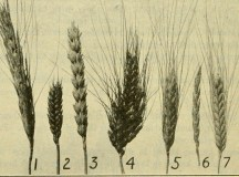 Nothing Says 'Hip' Like Ancient Wheat : The Salt : NPR