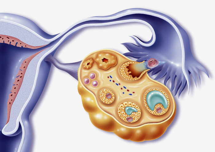 Depiction of female reproductive organs during ovulation.