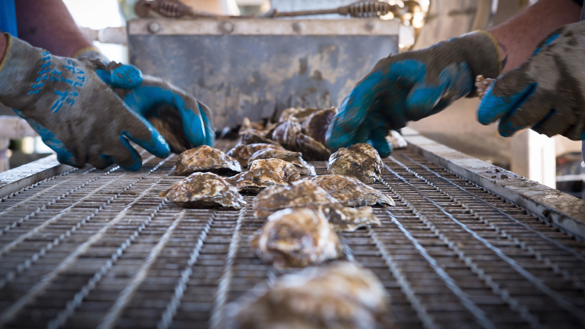 The Oysters Mighty Comeback Is Creating Cleaner US