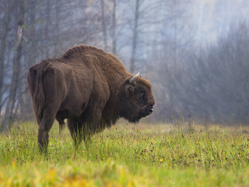 higgs bison is the