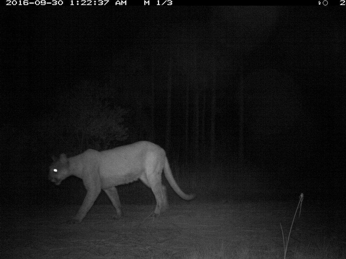 Female Panther Crosses Florida River Humans Applaud The Two Way Npr