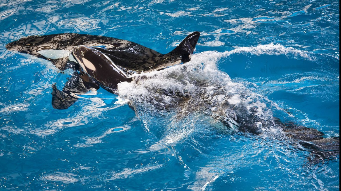 Takara gave birth to her as-yet-unnamed calf on Wednesday afternoon at SeaWorld San Antonio.