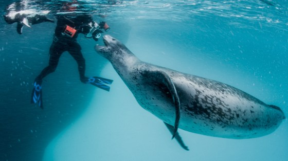 A leopard seal approaches the photographer.