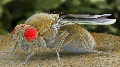 Sick And Tired? Scientists Find Protein That Puts Flies To Sleep And Fights Infection