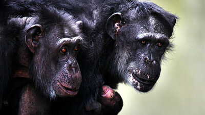 Sex, Empathy, Jealousy: How Emotions And Behavior Of Other Primates Mirror Our Own