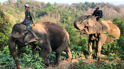 'A Million Elephants' No More: Conservationists In Laos Rush To Save An Icon