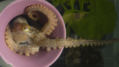 Why Octopuses Might Be The Next Lab Rats
