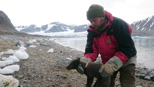 A polar fox is fitted with a satellite tracking collar in Krossfjorden, Svalbard, on July 29, 2017, as part of research conducted by the Norwegian Polar Institute. Norwegian researchers said Tuesday that this young female arctic fox has been tracked walking from Norway to Canada.