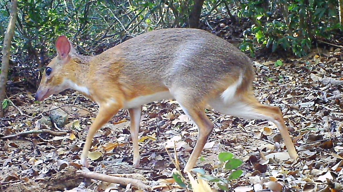 Nearly 30 years after its last documented sighting, a silver-backed chevrotain was spotted by a camera set up in the forest of southern Vietnam.