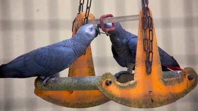 Polly Share A Cracker? Parrots Can Practice Acts Of Kindness, Study Finds
