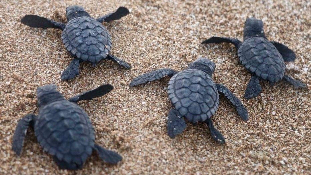Sea Turtles Flourish On Lebanon S Beaches As Tourists Stay Home Coronavirus Live Updates Npr