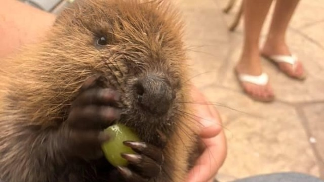 Beave the beaver is building dams inside the New York home of wildlife rehabilitator Nancy Coyne while he gets ready to return to the wild.