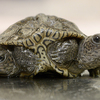 A rare 2-headed turtle is doing well at a wildlife center after hatching 2 weeks ago